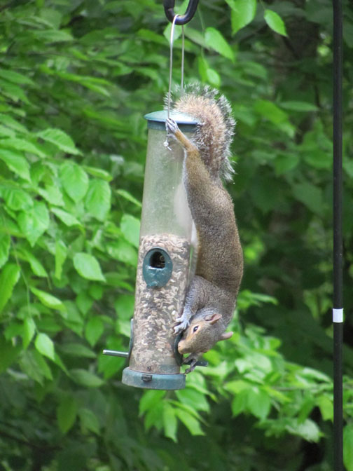 Outsmarting Squirrels at The Birdfeeder, The Natural Way