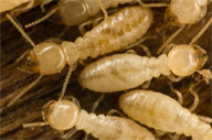 <b>In Spring, Birds, Bees and &#8230; Termites?</b>&#8220;></td> <td> <p>(<a href=