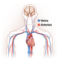 <b>Your Blood&#8217;s Amazing Trip Through Your Vascular System</b>&#8220;></td> <td> <p>(<a href=